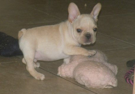 Healthy Litters Of Akc French Bulldog Puppies
