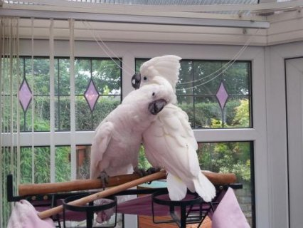Fully feathered,  cockatoo Parrots 9 months old