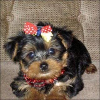 Yorkshire Teacup Puppies for adoption