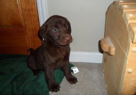 Labrador Retriever puppies for Adoption