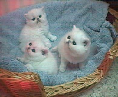 BEAUTIFUL SOLID WHITE BLUE EYED PERSIAN FEMALE KITTEN For SELL