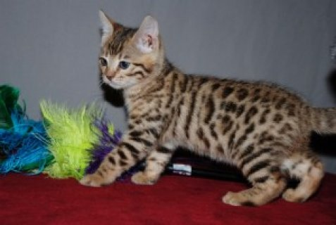 PRICE REDUCED!! MALE AND FEMALE BENGAL KITTENS READY To Go
