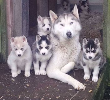 Cute and Adorable siberian husky Puppies for sell