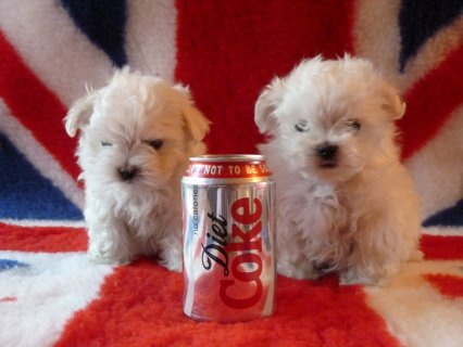 Intelligent Maltese puppies for sale