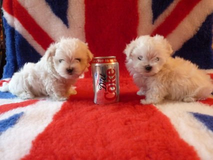 Two Healthy Maltese Puppies Available for sale