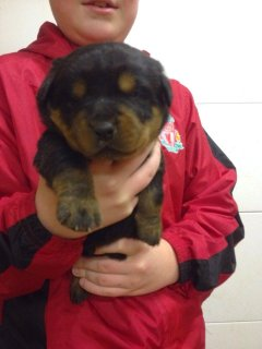 Rottweiler Pups Available for sale (d>a>h>r>e>n>i>v>a>n>@>g>