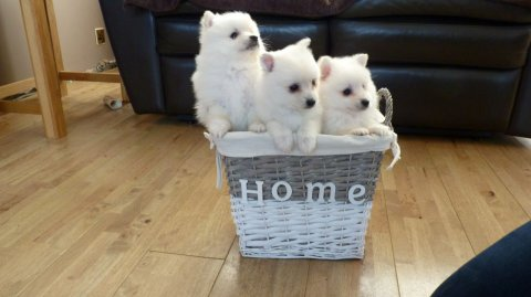 صور Male and Female White Pomeranian Puppies For Sale 1
