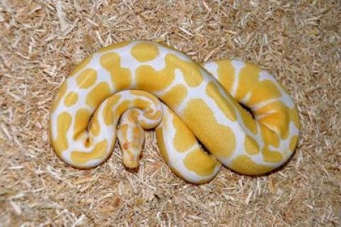صور ball head python for sale 2