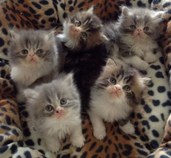 Persian Brother and Sister Available For Sale