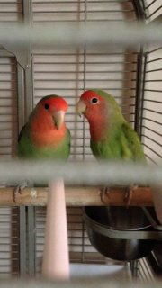 beautiful love birds for your new home