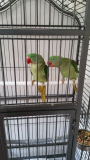 صور Am looking for a loving home for my Parakeets birds 1