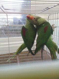 Parakeets bird for sell