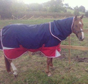 Brown Arabian Female Horse!exotic Brown Silk for sale