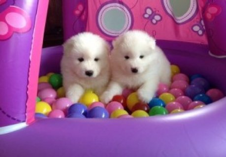 Samoyed Puppies for Sale123