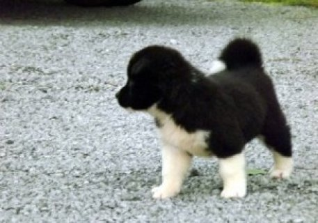 Akita Pupp4ies for Sale65