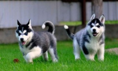 صور Siberian Husky for adoptions7654 1