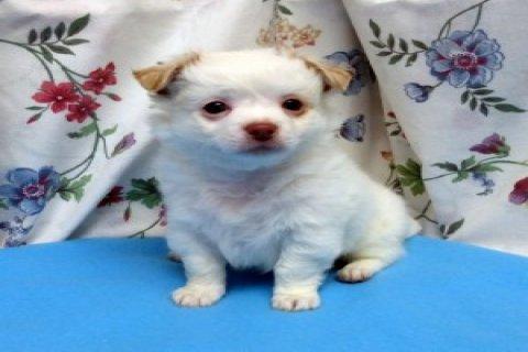Cute Chihuahua Puppies987