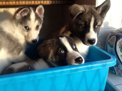 Cute Akita Puppies Available Now For Sale