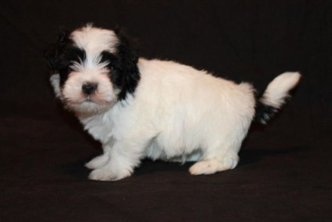 Havanese Puppies for Adoption776