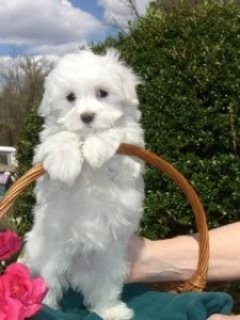 Maltese Puppies for Sale345