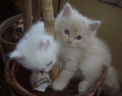 Teacup Persian Kittens  For Adoption
