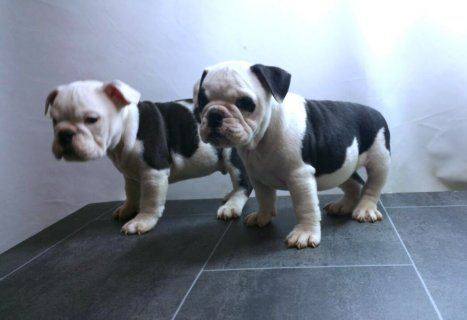Cute and Adorable Alapaha Blue Blood Bulldog Puppies for Sell