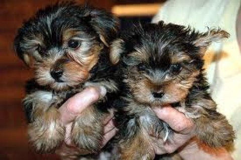 Adorable T-cup Yorkie puppies for adoption