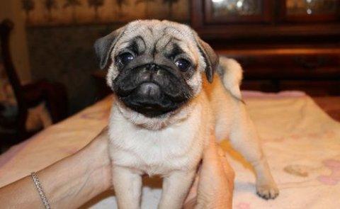 Pug puppies for Adoption