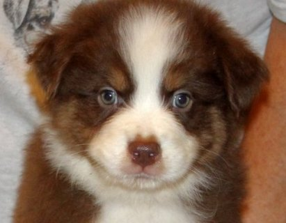 AUSTRALIAN SHEPHERD FOR ADOPTION