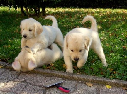 Male and Female Golden Retriever Babies Ready for re-homing.