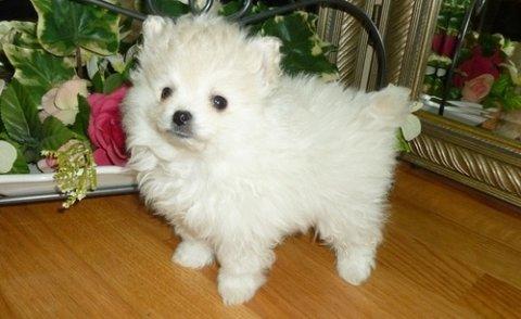Amazing Pomeranian puppies for adoption