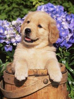 cute golden retriver puppies for adoption