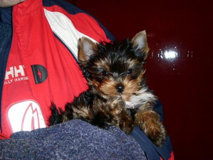 two stunning teacup yorky pups for free adoption.