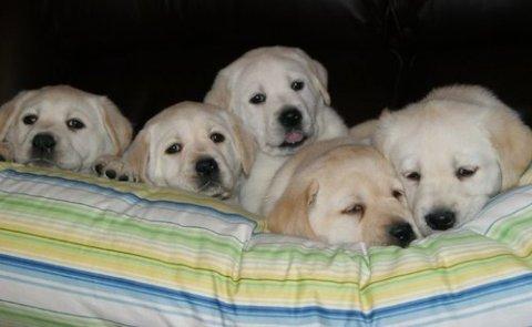 lovely Labrador pups