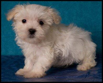 maltipoo, bichon poo, bich poo puppies for sale