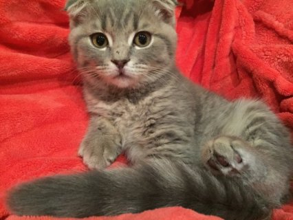 Gccf & Tica Champion Sired Scottish Fold Kittens