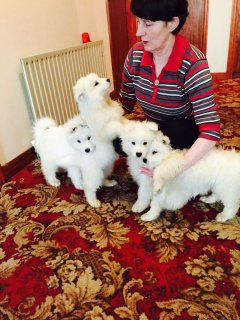 Pedigree Samoyed Puppies For Sale