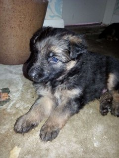 male and a female German shepherd puppies