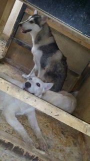 كلاب هاسكي للبيع بيور
