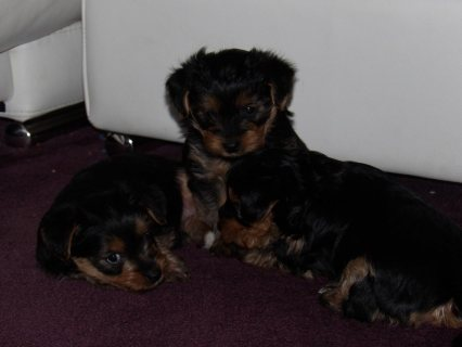 Quality Bred Family Rasied Yorkie Pup