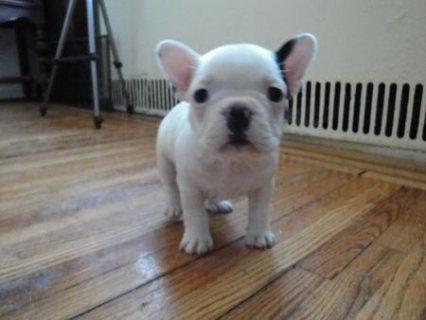 Two Gorgeous French Bulldog Puppies for adoption11111