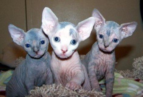 Sphynx Kittens for Adoption........//////