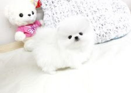 Healthy Home raised teacup Pomeranian pups availabl