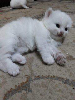 قطط مون فيس للبيع بالسعودية جدة
