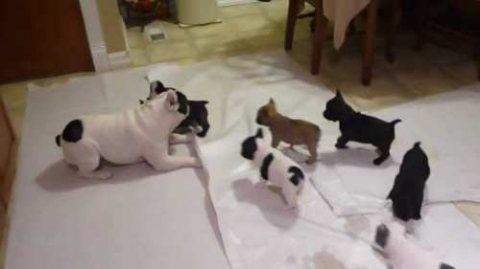french bulldog good for adoption