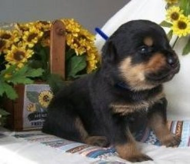 Rottweiler Puppies for Adoption,,,,,,,,
