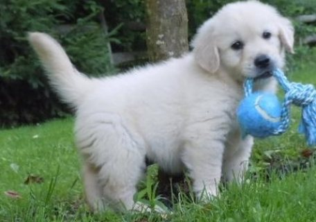 Trained Golden Retriever Puppies,,,