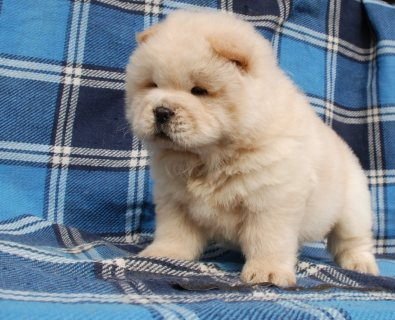 Playful Chow Chow Pups For Sale,,,,,,