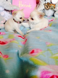 Beautiful Chihuahua Puppies for Re-homing,,,,,,,,