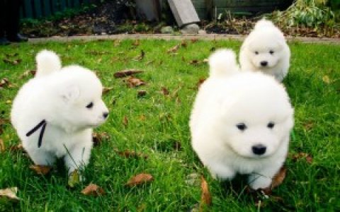 Samoyed Puppies for Adoption,,,